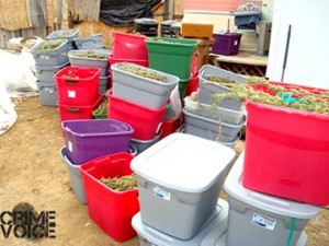 230 pounds of marijuana in plastic containers was seized on the property.