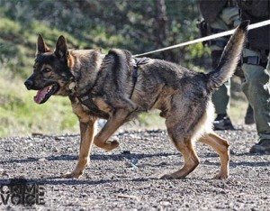 K9 Carr looks ready for action in this photo from the Redding PD K9 webpage.