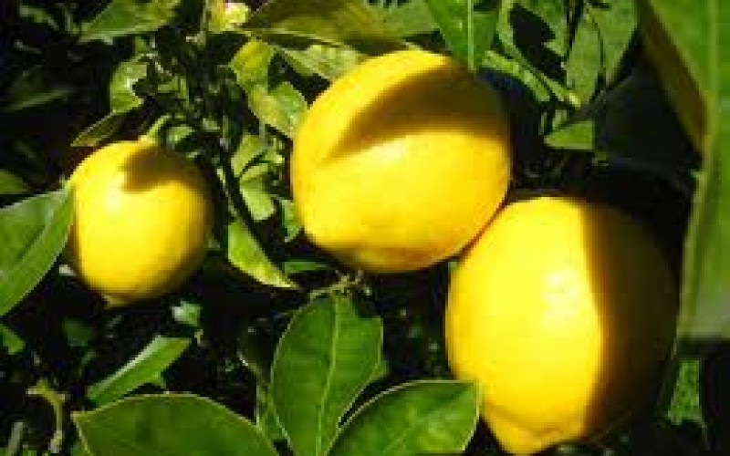 Lemon thief busted in Taft