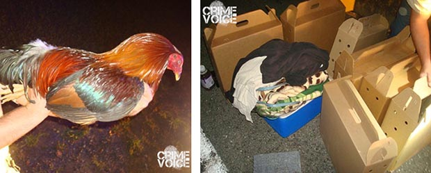 One of the altered roosters found in the car, and the boxes they were packed in.
