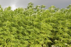 Three Arrested in Connection with Illegal Pot Farm