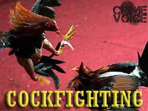 cockfight image