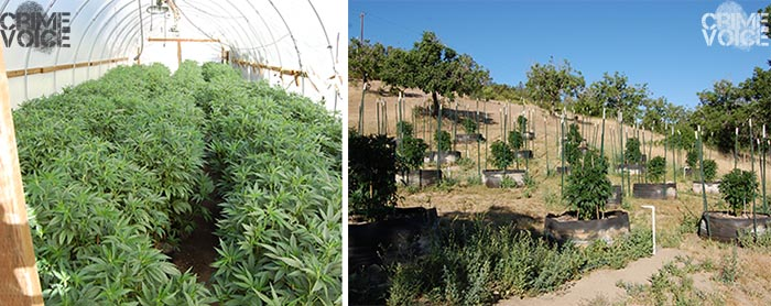 Marijuana growing both inside a greenhouse and outside.