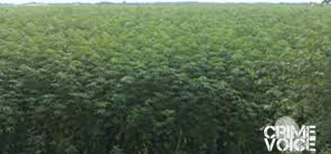 Four rob processed cannabis from permitted farm