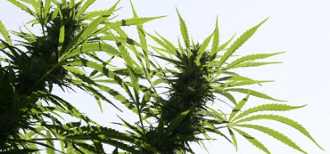 Major Bust Yields Nearly 4,000  Marijuana Plants, Two Arrests