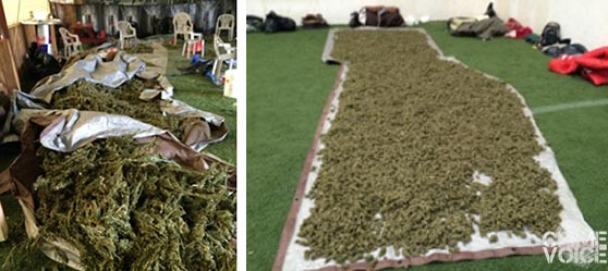 Investigators found massive quantities of harvested marijuana.