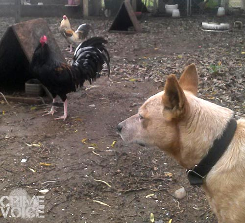 A couple of Burciago's roosters and his dog (Facebook)