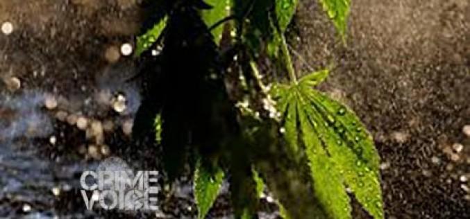 Suspects Caught Watering their Marijuana Garden
