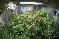 Indoor Marijuana Farmers Busted