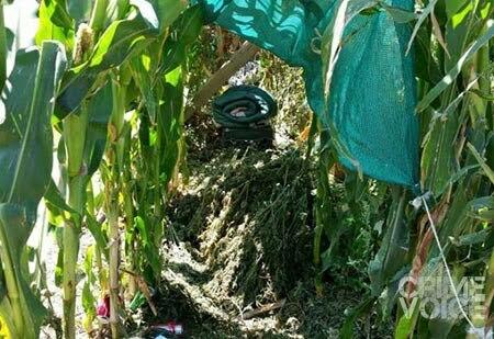 Marijuana was hidden among the corn stalks, along with living supplies like sleeping bags.