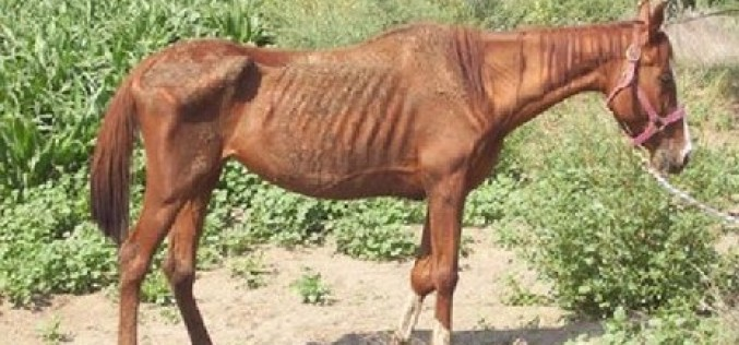Suspect Faces Possible Animal Cruelty Charges after 24 Horses Confiscated