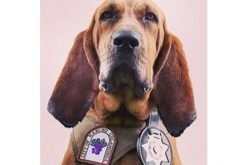 K-9 Dare Leaps into Action to Track a Fleeing Car Thief