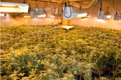 Sheriff's Office descends on two indoor marijuana grows; plants and processed marijuana seized