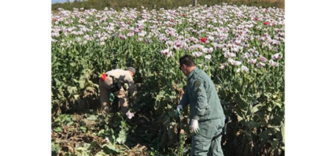 Investigation Unveils an Acre of Poppies
