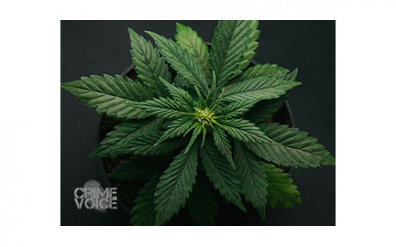 Illicit Marijuana Operation Discovered