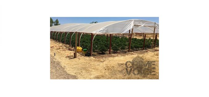 Two Large Scale Outdoor Marijuana Cultivation Sites Busted