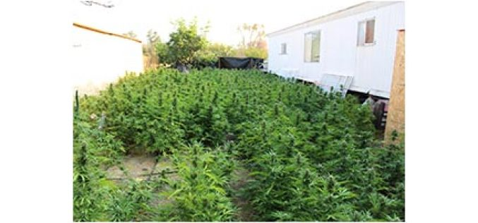 Heft of 3,000+ Marijuana Plants Eradicated