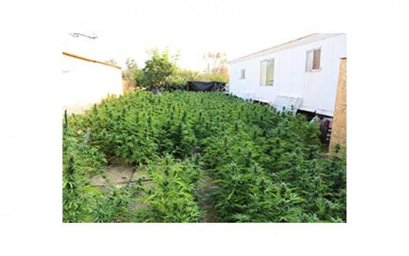 Heft of 3,000+ Marijuana Plants Eradicated