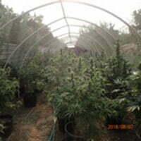 3,000-marijuana-plants