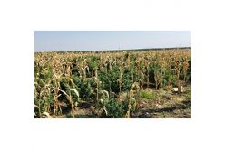 Massive Marijuana Grow Among the Corn