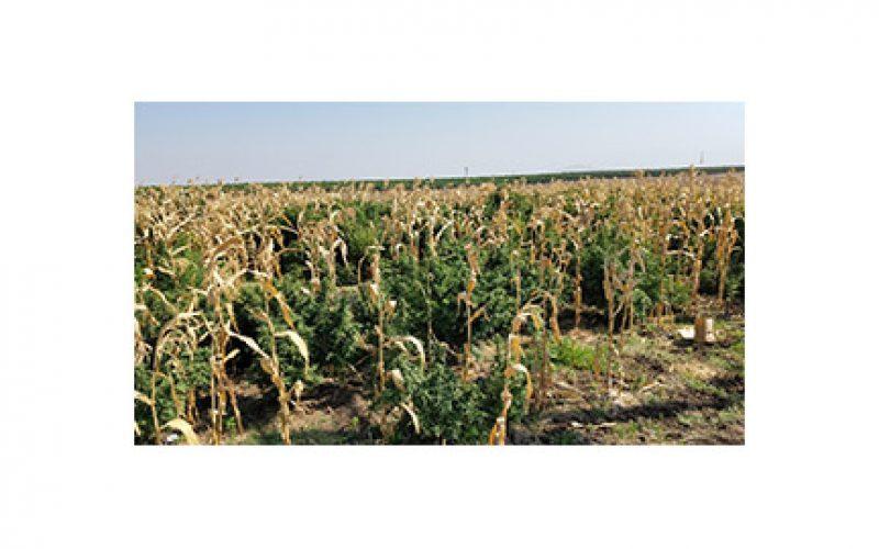 Massive Marijuana Grow Among the Corn