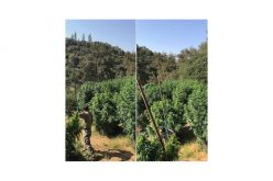 They Grow Illegal Marijuana in Calaveras County Too