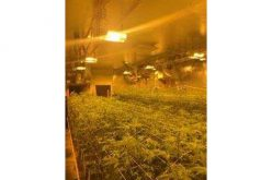 Search Warrant On Illegal Marijuana Grow Nabs Nearly 4,600 Pot Plants In Nine Units