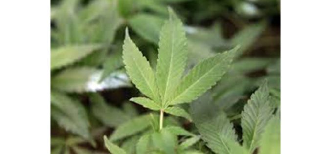 Five arrested for theft from marijuana cultivation site