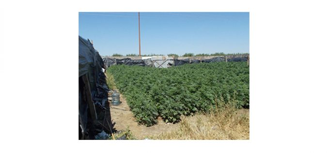 Over 11,000 marijuana plants discovered in Kern grow site