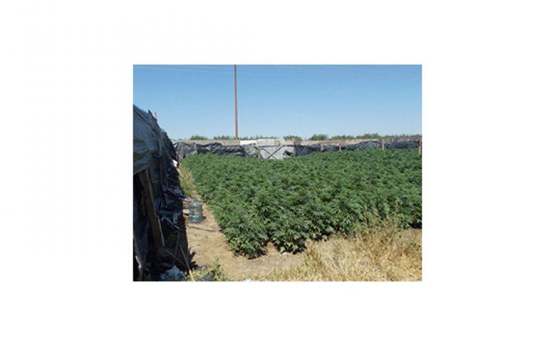 Over 11,000 marijuana plants discovered in Kern grow site