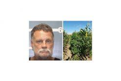 Seek and Destroy: Over 2,500 Marijuana Plants Eradicated in Lindsay