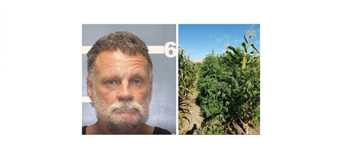 Seek and Destroy: Over 2,500 Marijuana Plants Eradicated in Lindsay