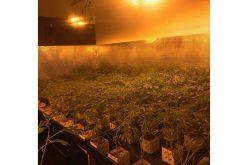You You Kou cited for 2,400 marijuana plants