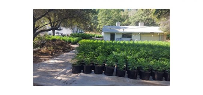 Chung Chan from Texas operates illegal grow site in Yuba County