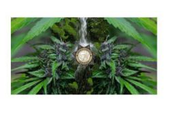Nearly 20,000 Marijuana Plants seized on one day
