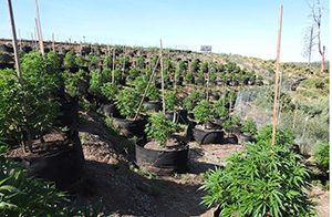 two-illegal-grow-sites
