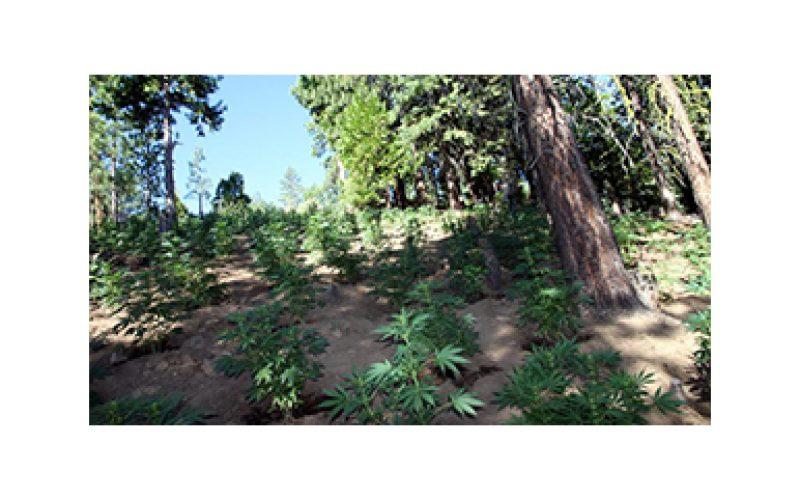 11,000 Marijuana plants destroyed in raid
