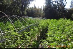 Multiple illegal grow operations discovered in Calaveras County