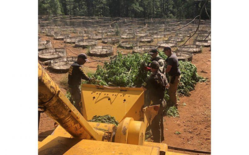 Several Illegal Marijuana Grow Operations Raided Near Susanville
