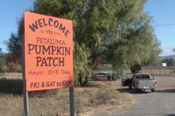 Petaluma police arrest stalking suspect after chasing him into pumpkin patch