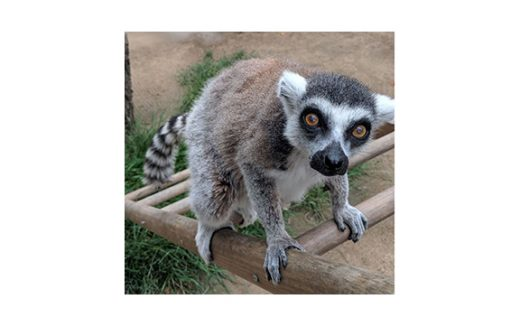 Man Brings on the FBI plus Federal Prison Time for Stealing Zoo's Endangered Ring-Tailed Lemur