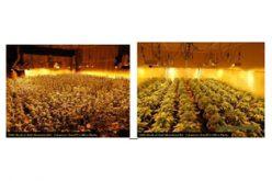 Marijuana grow house discovered, red tagged