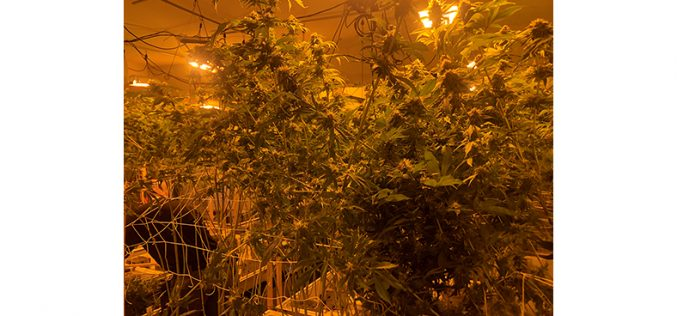Man Arrested for Growing About 1500 Marijuana Plans, Stealing Electricity