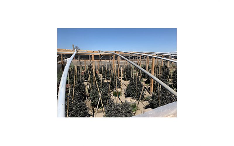 Three illegal grow sites on one property