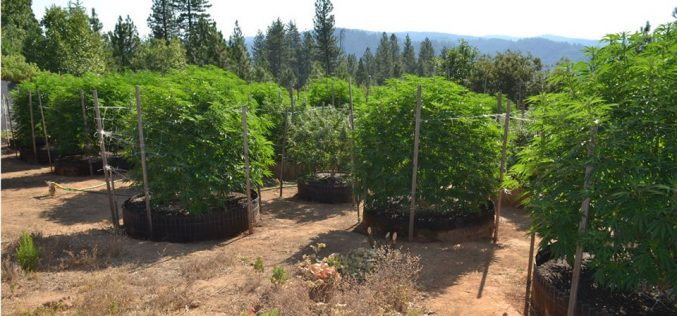 Another Calaveras Marijuana Team Recap in July
