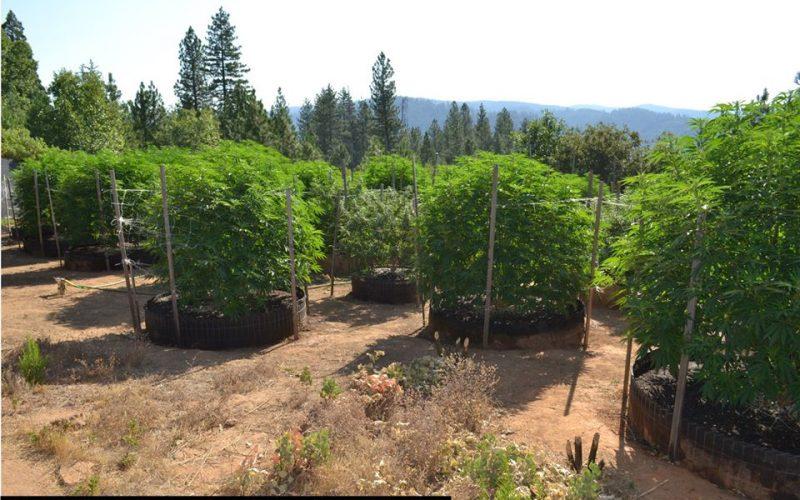 Another Calaveras Marijuana Team Recap in July