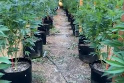 Six arrested at illegal grow site