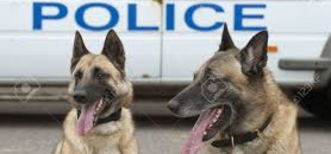 K-9 Duo Catches Wanted Felon