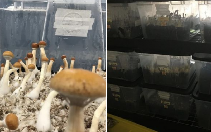 Mushrooms and other drugs seized