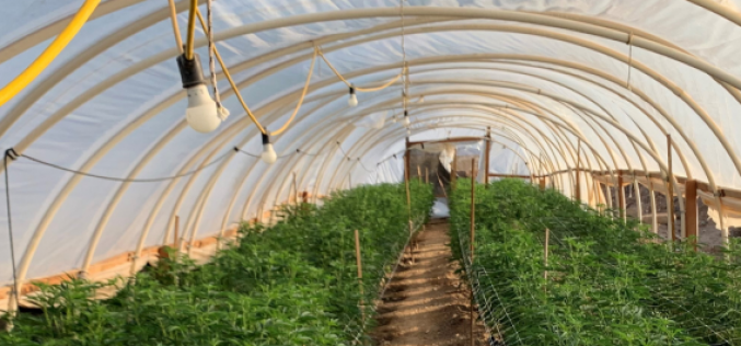 Over Five Thousand Marijuana Plants Seized in Case of Illegal Cannabis Cultivation